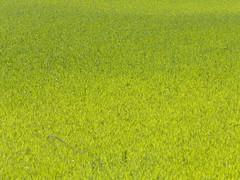 verde lombardo (non QUELLO...) (pinghel) Tags: crema caravaggio santuario soncino