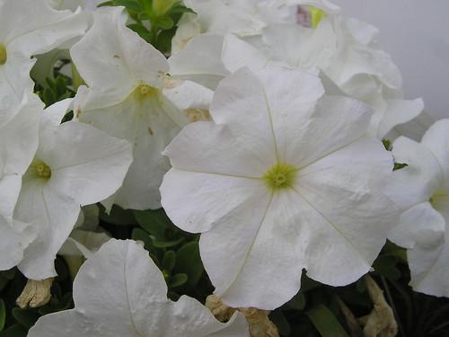 Petunias blancas