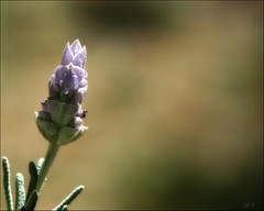 Lavender with bokeh... (Mary Trebilco) Tags: flowers canon bokeh lavender powershot loveit explore handheld 12xzoom canonpowershots3is mytassiegarden