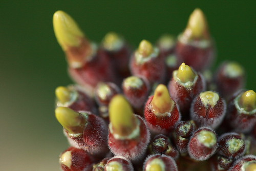 Plumeria Flowers Forming