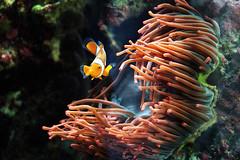 (Yellow Bear) Tags: home swimming aquarium nemo clownfish anemone fishtank stripey petshop