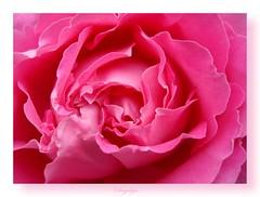(GnL*) Tags: pink flower macro nature rose gl makro doga iek pembe
