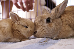 Mum and daughter (Sjaek) Tags: baby cute rabbit bunny bunnies babies nest sweet adorable fluffy pip rabbits flurry guus