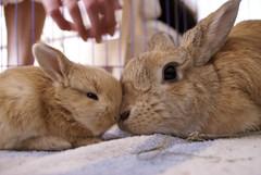 Mum and daughter (Sjaek) Tags: baby cute rabbit bunny bunnies babies nest sweet adorable fluffy pip rabbits flurry guus