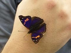 Iguazu - parc - papillon - main