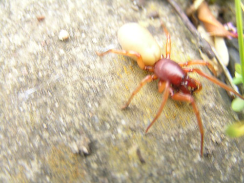 What Kind Of Spider Is Red And With A Big White Abdomen Yahoo Answers