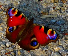 European peacock butterfly (Claude@Munich) Tags: butterfly colorful peacock colourful schmetterling naturelovers peacockbutterfly inachis pfauenauge naturesfinest nymphalidae tagpfauenauge inachisio claudemunich tagfalter edelfalter top20butterflies diamondclassphotographer flickrdiamond top20butterflies20