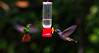 Brown Violetear (Colibri delphinae) on the right and approaching Rufous-tailed Hummingbird (Amazilia tzacatl) on the left at Alambi Cloud Forest Reserve, Tandayapa Valley, north-western Ecuador.