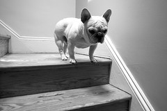 (Tim Castlen) Tags: house thomas baltimore frenchbulldog ricohgrdigital charlesvillage