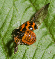 "Harlequin Ladybird (Harmonia axyridis(7) • <a style=""font-size:0.8em;"" href=""http://www.flickr.com/photos/57024565@N00/1491006779/"" target=""_blank"">View on Flickr</a>"