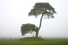 tree with sheeps (Dick Verton) Tags: tree landscape sheeps thesecretlifeoftrees