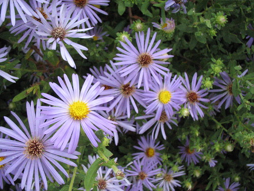 Fall asters (close-up)