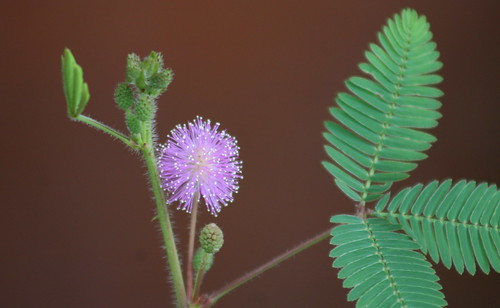 Mimosa pudica (the shy plant)