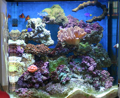 fish tank (afcteabag) Tags: sea sun fish leather coral tomato marine nemo finger clown snail crab turbo pixar hermit fins damsel polyp blueleg redleg suncoral
