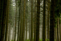 Els boscos germanics / The woods of Germania (SBA73) Tags: trees mist fog germany dark deutschland arboles roman pins eerie arbres pines alemania celtic trunks pinos taurus niebla germania romans troncos roemer 2007 gladiator mistery rmer romanos hesse germanics boira troncs aplusphoto diamondclassphotographer limesgermanicus kleinfeldberg 100commentgroup keltenkeltiskceltiquegallic
