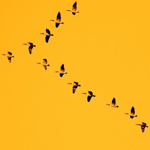 Tại sao đàn chim di cư thường bay theo đội hình chữ V?