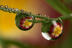 Dewdrop refraction #1 (Lord V) Tags: flower macro water quality dewdrop refraction naturesfinest splendiferous fantasticflower mywinners diamondclassphotographer gotasdrops alemdagqualityonlyclub