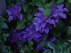 Flowers on my balcony (olga_rashida) Tags: flowers blue green balcony balkon blossoms clematis blumen grün blau thebigone 10faves abigfave isawyoufirst top20blue ysplix mothernatureatherbest colourartaward top20vivid mimamorflowers