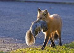 The fox - Le renard (Indydan) Tags: canon garden botanical squirrel montral quebec montreal jardin qubec fox hunter prey predator botanique jardinbotanique renard chasseur prdateur 100400 proie 40d jardinbotaniquemontral canonef100400lis canadaqubec