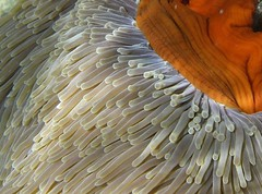 strong current... (crazykanga) Tags: red texture beach pin grandmother kenya tubes anemone thumbsup bigmomma challengeyouwinner 3waychallenge 3wayicon cywinner youvsthebest heteractismagnifica photofaceoffwinner photofaceoffplatinum pfogold mar08pfobrackets tmoacg thepinnaclehof motmoct09 6medal pinjune