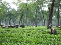 Dozens of tea pickers among tea bushes (RogerBurks) Tags: tea assam mercycorps assamtea teapickers