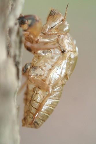 cicada empty nymphal skin