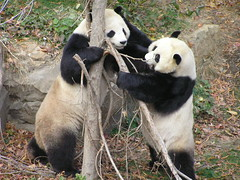 "Tian: ""Hey, Baby, Wanna Wrastle?"" (saulesmeit) Tags: dc panda tian nz nationalzoo mei giantpanda tiantian meixiang abigfave"