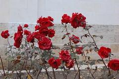 Montrichard Roses
