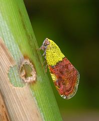 Plant hopper (lenkline) Tags: macro planthopper extensiontube sbwr sungeibulohwetlandreserve singaporeflickrmeetup kenko14xtc nikon3570mmf28 011207 mmos mmosworkshopsoutings ws1shot