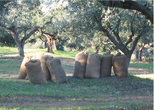 Sacks of olives