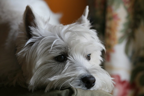 Wee Westie Kicking Back