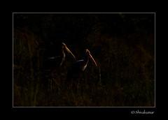 Paintedstork_in_nature