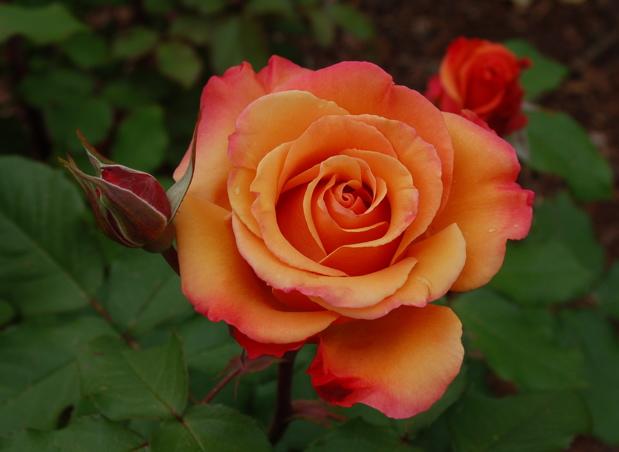 tuscan_sun_rose