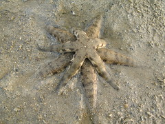 Common Seastar (Archaster typicus) in mating position