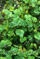 Marsilea 1-1a (Tamps (Lynch Images) Tags: fern mexico pteridophyta waterfern marsilea sporocarp pterophyta marsileales heterosporous