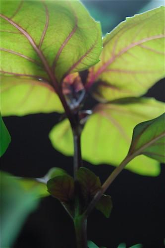 my basil plant
