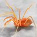 Opiliones, Laniatores, Travunioidea, Sclerobunus ungulatus