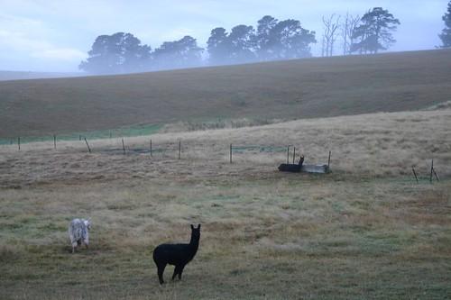 Lamas in...Peru? No, Australia!
