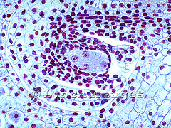 Lilium Ovule First 4-Nucleate 3272-36 (L) (Lynch Images) Tags: four lily cross first pistil second division lilium reproduction section ovary megasporocyte meiosis monocot carpel ovule integument magnoliophyta angiosperm funiculus nucellus liliatae locule megasporangium embryosac 4nucleate tetrasporic fritillariatype