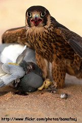 Lunch Time (Banafsaj_Q8 .. Free Photographer) Tags: lunch desert time hunting free delicious falcon kuwait صقر kw photographyer q8 الصحراء kuw banafsaj