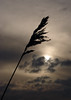 Reed all about it (Mr Grimesdale) Tags: sunset sea seascape liverpool evening sony shore merseyside hightown rivermersey mrgrimsdale stevewallace dsch2 riveralt photofaceoffwinner pfogold mrgrimesdale grimesdale altestuary