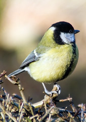 great tit (ewar166) Tags: bird nature nude tit tits boobs great greattit greattits experimentwithtags