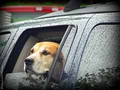 At the McDonald's drive through (diskychick) Tags: morning usa dog ford rain america fun mirror md driving hiking saturday maryland rainy springgreen adayawayfrommycellphone