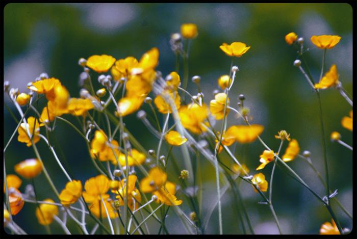 printemps-boutons-d'or