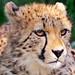 Portrait of a cheetah cub