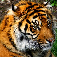 Tiger Tony (GlossyEye.) Tags: world life park street city sky urban toronto canada abstract reflection art texture nature water weather animal rock stone night cat fire photography gold zoo perfect day photographer dragon view shot natural outdoor earth surrealism air tiger country picture surreal award places pic retro passion soe the naturesfinest blueribbonwinner supershot flickrsbest golddragon mywinners abigfave flickrgold platinumphoto anawesomeshot impressedbeauty aplusphoto naturefinest diamondclassphotographer flickrdiamond ysplix theunforgettablepictures betterthangood theperfectphotographer yspl picnikorpicnic