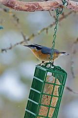 Daks, NY: Red-breasted Nuthatch at feeder (donna lynn) Tags: nys newyork adirondacks dacks nikon d500 birds birding february winter 2017 feeders sabbitisroad redbreastednuthatch sittacanadensis