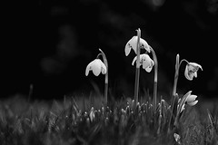 With heads bowed (HonleyA) Tags: fuji fujifilm flower snowdrops spring monochrome garden