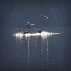 Splash landing Canada Geese flying home (NaPix -- (Time out)) Tags: lake canada reflection nature water birds canon geese quebec action bokeh wildlife south flock north flight goose landing formation explore telephoto traveling splash lanscape migrating uplift communicating lakescape flyawayhome vshape explored hbw flyinginavformation canonef70200mmf4lisusm napix canoneosdigitalrebelxsi mexicocanadamigration uscanadamigration wejustwatchedearth brandacanadensis