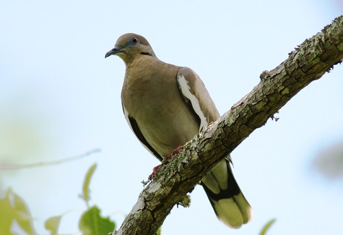 White-winged Dove - 5/13/2009